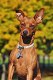 Zwergpinscher no outono Fotos de Stock Royalty Free