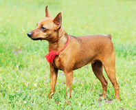 Zwergpinscher standing Stock Photo