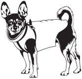 Zwergpinscherhunderasse Lizenzfreies Stockbild