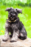 Zwergschnauzer Photos stock