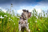 Zwergschnauzer, camomile flowers over blue sky Royalty Free Stock Images