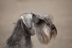 Zwergschnauzer Royalty Free Stock Images