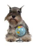 Zwergschnauzer com globo Imagens de Stock