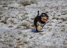 Zwergschnauzer, der in einem Schnee laufend steht Stockbilder