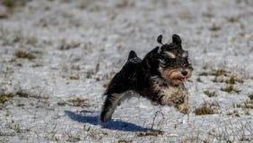 Zwergschnauzer, der in einem Schnee laufend steht Stockfotografie