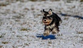 Zwergschnauzer, der in einem Schnee laufend steht Stockfotos