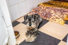 Zwergschnauzer ha abbandonato il cane che mette sul pavimento al riparo Fotografia Stock
