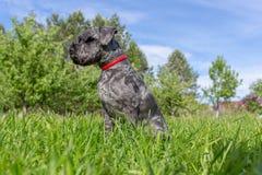 Zwergschnauzer negro se sienta en la hierba contra la perspectiva del bosque y del cielo azul fotos de archivo libres de regalías