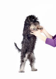 Zwergschnauzer puppy in hands Stock Photos