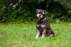 Zwergschnauzerhund, der draußen sitzt Lizenzfreie Stockfotografie