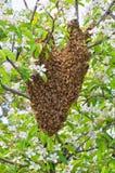 Zwerm van bijen Stock Foto's