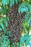 Zwerm van bijen op een boom worden gegroepeerd die hun Koningin beschermen die royalty-vrije stock fotografie