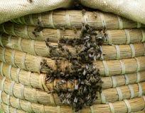 Zwerm van bijen op struik Stock Foto's