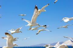 Zwerm van vliegende zeemeeuwen Royalty-vrije Stock Afbeeldingen