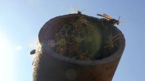 Zwerm van wespen in bijenkorven in een metaalpijp tegen een blauwe hemel De middenmedia nest4k van wespdolichovespula 4K video stock video