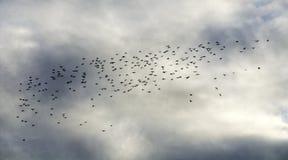 Zwerm van zwarte vogels Stock Foto's