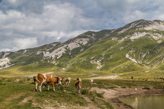 Zwervende koeien Stock Foto's