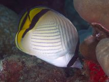 Zwerver butterflyfish Royalty-vrije Stock Foto