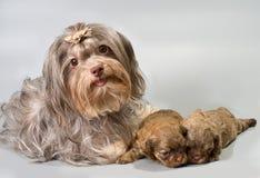 Zwetna van Bolonka met zijn puppy stock afbeeldingen