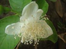 Zwiebel-Blume stockbild