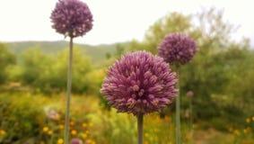Zwiebel-Blumen Lizenzfreies Stockbild