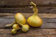Zwiebel, die ökologisch reines Goldenes bewirtschaftet Lizenzfreie Stockfotos