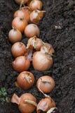 Zwiebel, die im Frühjahr pflanzt Stockbild