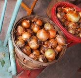 Zwiebel-Ernte im Scheffel Stockbilder