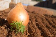 Zwiebel im Garten Lizenzfreies Stockbild