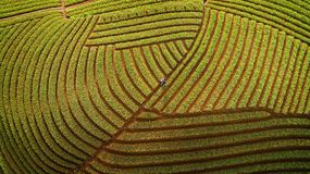 Zwiebel-Landwirt von Argapura Majalengka West-Java Lizenzfreie Stockbilder