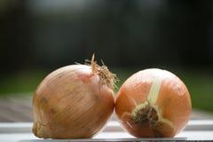 Zwiebel zwei auf Behälter mit grünem Hintergrund Stockfotos