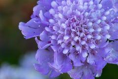 Zwiebelblüte mit verwickeltem innerem Detail Lizenzfreie Stockfotos