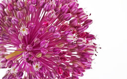 Zwiebelblume lokalisiert mit weißem Hintergrund Stockbilder