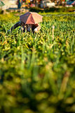 Zwiebelen-Landwirt Stockfotos