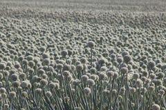 Zwiebelen-Lauch-Plantage Lizenzfreies Stockfoto