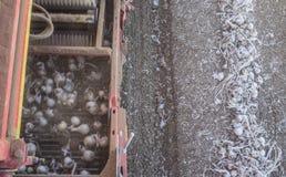 Zwiebelerntemaschine bei der Arbeit Steigende Förderbandansicht Stockbild