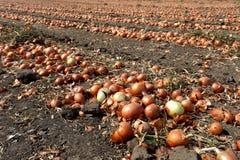 Zwiebeln auf dem Zwiebelengebiet Stockfoto