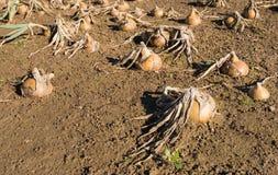 Zwiebeln auf einem nassen Gebiet vom Abschluss Lizenzfreies Stockbild