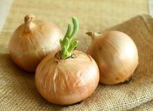 Zwiebeln auf einem Rausschmiß, Nahaufnahme Lizenzfreie Stockbilder