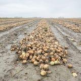 Zwiebeln auf Feld im autum bereit zur Ernte in der niederländischen Provinz von Groningen Lizenzfreie Stockfotos