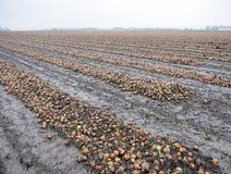 Zwiebeln auf Feld im autum bereit zur Ernte in der niederländischen Provinz von Groningen Stockfotografie