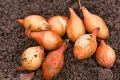 Zwiebeln bereit zum Pflanzen Lizenzfreie Stockbilder