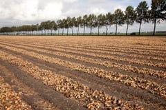 Zwiebeln betriebsbereit, auf einem Feld in Holland geerntet zu werden Lizenzfreies Stockfoto