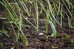 Zwiebeln in den Gemüsegärten Lizenzfreie Stockbilder