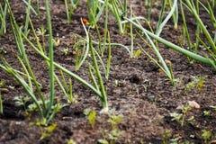 Zwiebeln in den Gemüsegärten Lizenzfreies Stockfoto