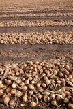 Zwiebeln in den Reihen auf einem Feld Lizenzfreie Stockbilder