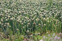 Zwiebeln, die Feld pflanzen Stockfotografie
