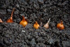 Zwiebeln, die im Boden wachsen Stockfotografie