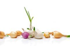 Zwiebeln für das Pflanzen. Stockfotos
