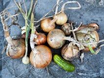 Zwiebeln und Gurke Stockfoto